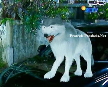 Serigala Putih GGS Episode 288