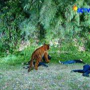 Ratu Macan GGS Episode 409
